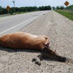 deer hit by car